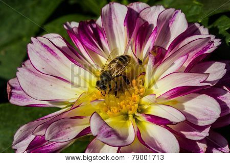Colorful Dahlia Flower purple