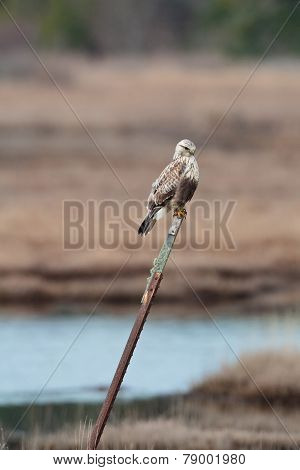 Hawk On A Post