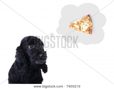Hungry Cocker Spaniel