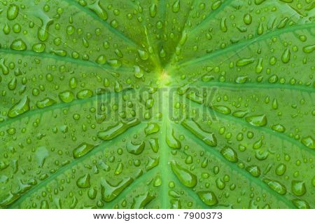 Elephant Ear Plant With Morning Dew Dropplets