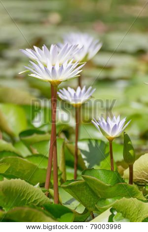 White Lotus Flower With Nature In The Pond