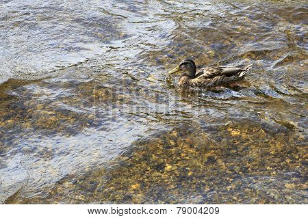 Wild duck on the lake.