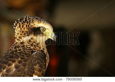Hawk, eagle, focus on eye