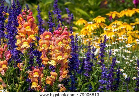 Snapdragons in flower garden