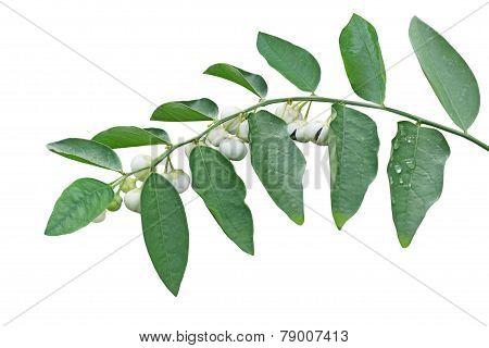 Sauropus Androgynus Fruits
