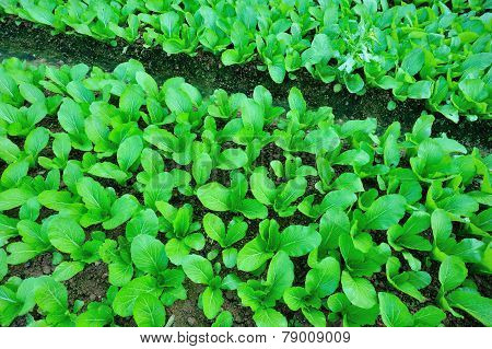 Green choy sum in growth at vegetable garden