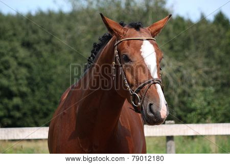 Bay Horse With Bridle Portrait In Summer