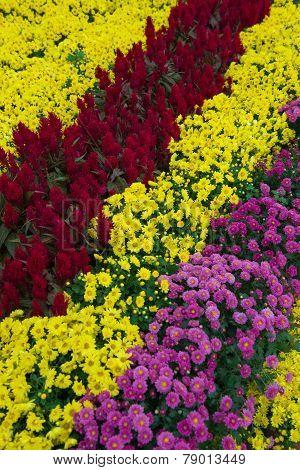 Various Chrysanthemum Flowers