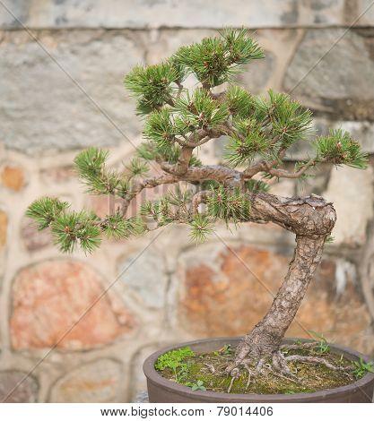 Bonsai Tree In Flower Pot