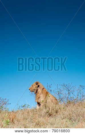 Male Lion On Hill