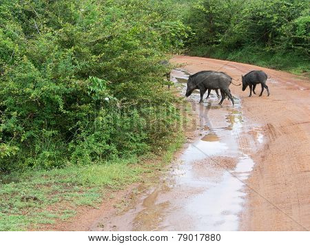 Wild Boars Crossing Road