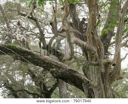 Toque Macaque Monkeys