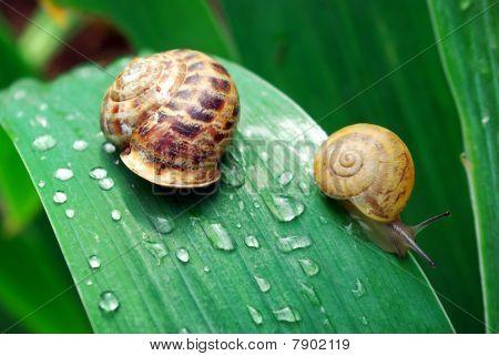 Family Of Snail
