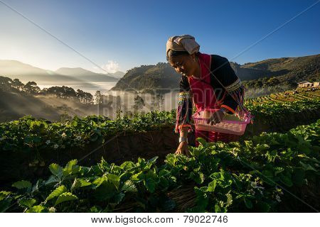 An unidentified woman Harvests Strawberry in Strawberry plantation field