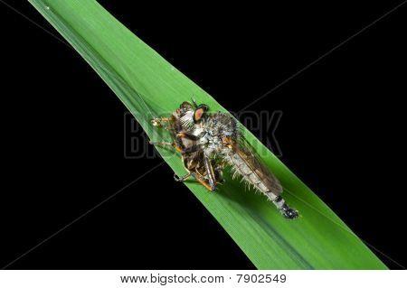Raptorial Fly (asilella Londti)