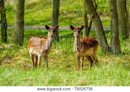 Deer Twins
