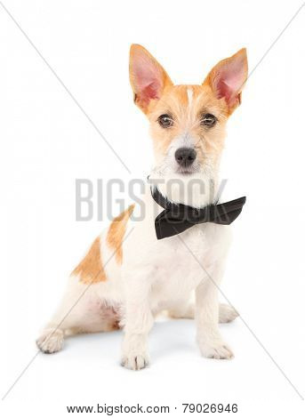 Funny little dog Jack Russell terrier with bow tie, isolated on white