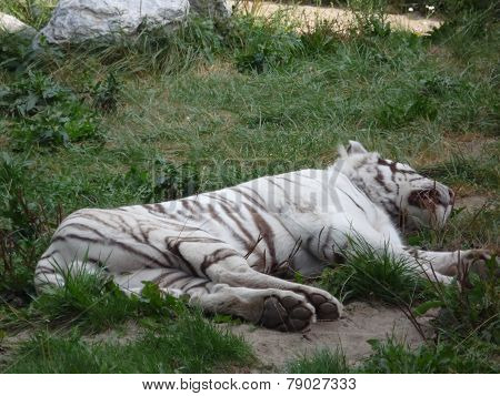 sleep white tiger in the Siberian zoo