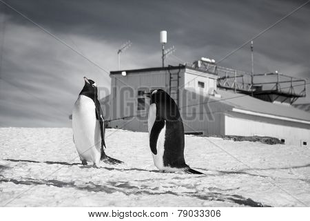 penguins standing on the hills covered with snow in Antarctica