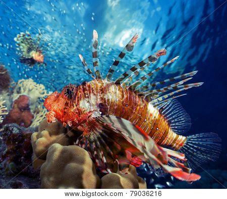 Lion fish underwater shot