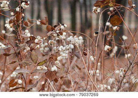 Snowberry Fruit In Winter
