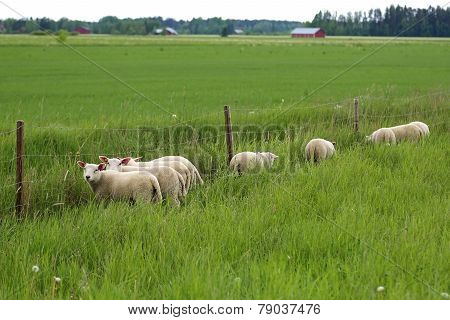 Grass Is Greener for Sheep on a Field