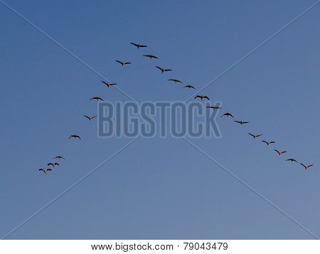 Sandhill Cranes Flying In Formation