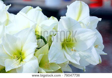 White Amaryllis Flowers