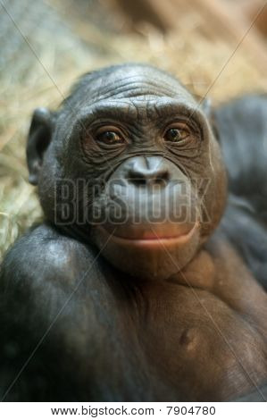 Portrait Of A  Bonobo Monkey