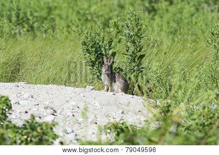 Vigilant Rabbit