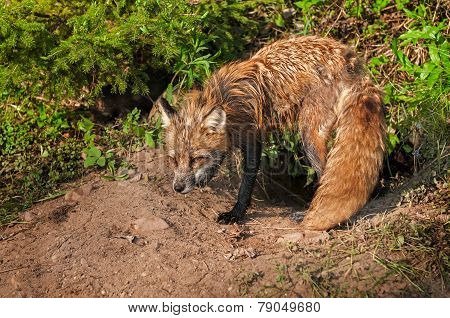 Red Fox Vixen (vulpes Vulpes) Stands Vigilant At Den
