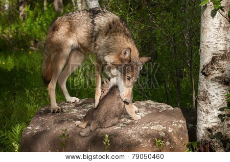Grey Wolf (canis Lupus) Mother Works To Pick Up Pup