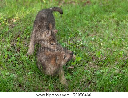 Two Wolf Pups (canis Lupus) Tussle In The Grass