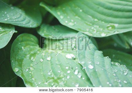 una planta de hoster después de una tormenta de lluvia