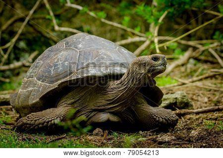 galapagos turtle in floreana island
