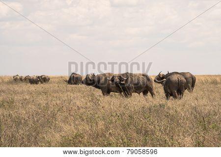 Cautious Water Buffalo