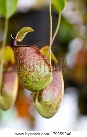 Nepenthes, Tropical Pitcher Plants Or Monkey Cups.