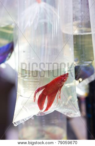 Red Fighting Fish In Oxygen Plastic Tube.