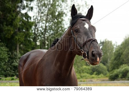 Black Latvian Breed Horse Portrait At The Countryside