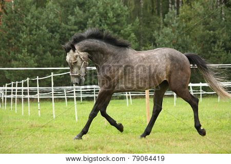 Gray Horse Running At The Field Along The White Fence