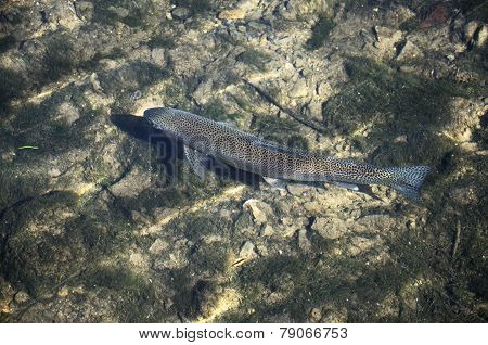 Brown trout in shallow river.