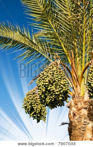 Date Palm With Bunches Of Dates.