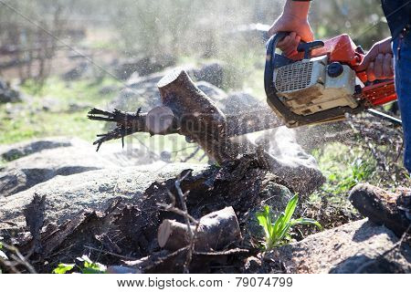 Cutting Holm Oak Firewood With A Chainsaw