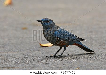 Blue Rock Thrush Bird