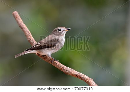 Asian Brown Flycatcher Bird