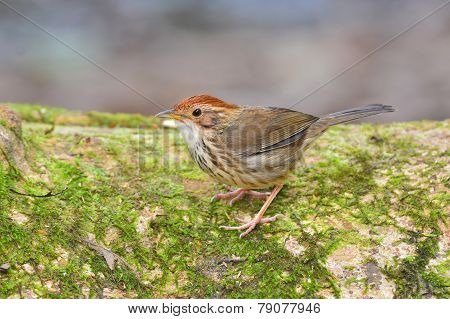 Puff-throated Babbler Bird
