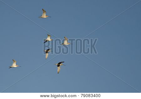 Flock Of Short-billed Dowitchers Flying In A Blue Sky