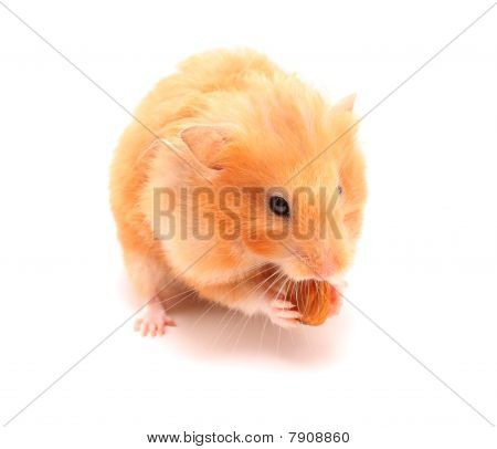 Hamster With Nut