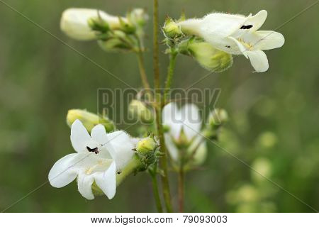 White Wildflower: Smooth Beard-tongue Penstemon Digitalis