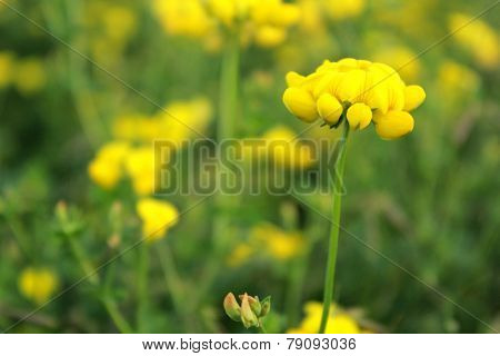 Yellow Wild Flower: Black Medic: Medicago Lupulina